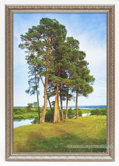 Картина-Сосны на берегу Енисея