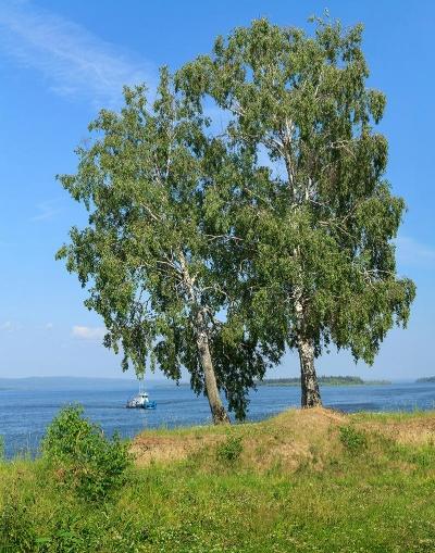 Продам Фотографию Берёзы на берегу Ангары